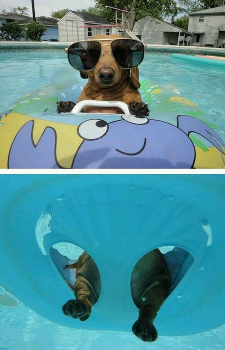 """39 Animals Swimming in Pools - """"The shades are stylin' and they fit me just right!"""""""