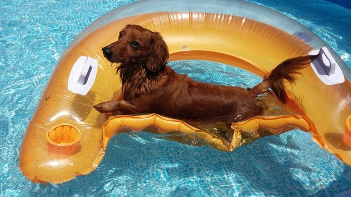"""39 Animals Swimming in Pools - """"Where did the waitress go with my drink?"""""""