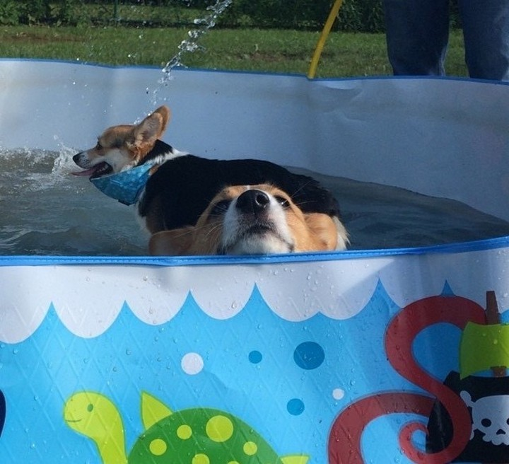 """39 Animals Swimming in Pools - """"Who let the dogs out!"""""""