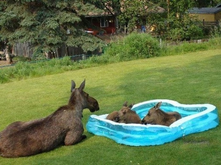 39 Animals Swimming in Pools - A mother moose watching her kids play in the pool. Cute!