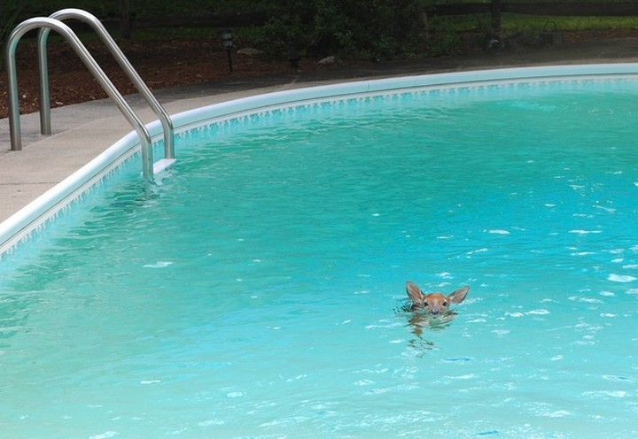 39 Animals Swimming in Pools - Bambi loves swimming in the pool!