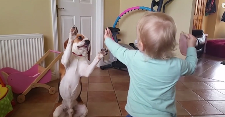 Dogs Are More Than Pets, They Are Part of the Family. What This Beagle Does for His Family Will Warm Your Heart.