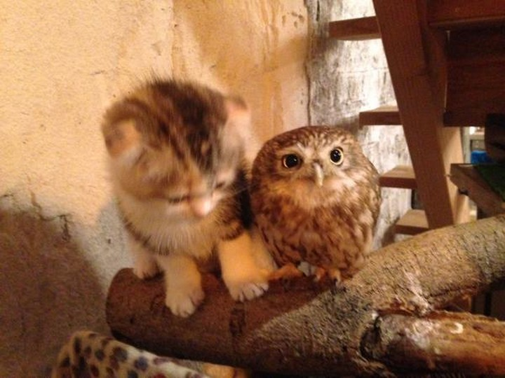 Meet Marimo and Fuku, a cute kitten and owlet pair that will make your heart melt.