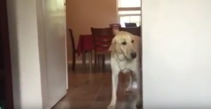 Arty the Golden Retriever Hilariously Overcomes His Fears. Dog afraid of carpet is hilarious!