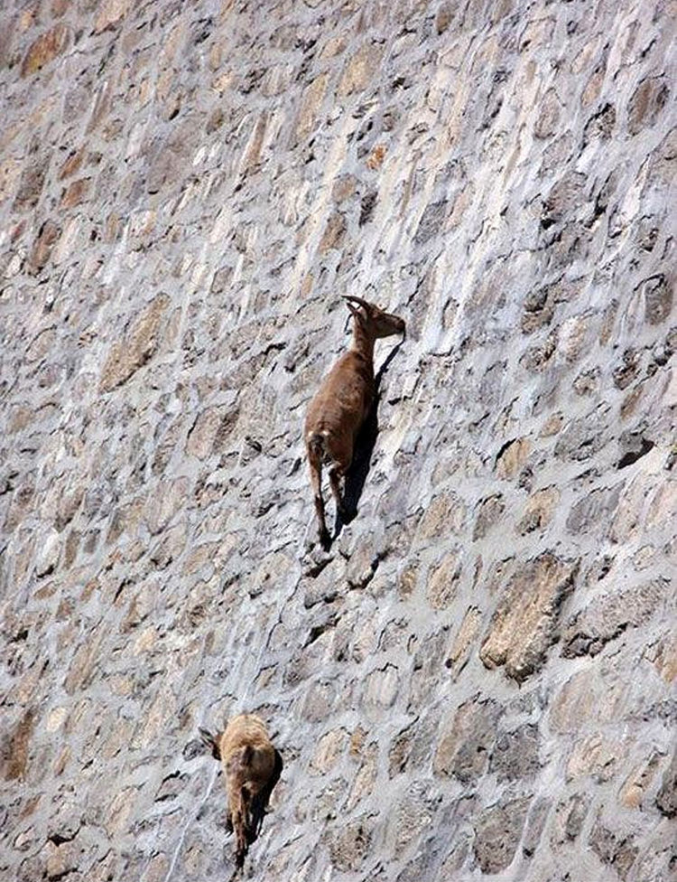 Herd of Alpine Ibex Goats Climb Vertical Dam in Northern Italy 04
