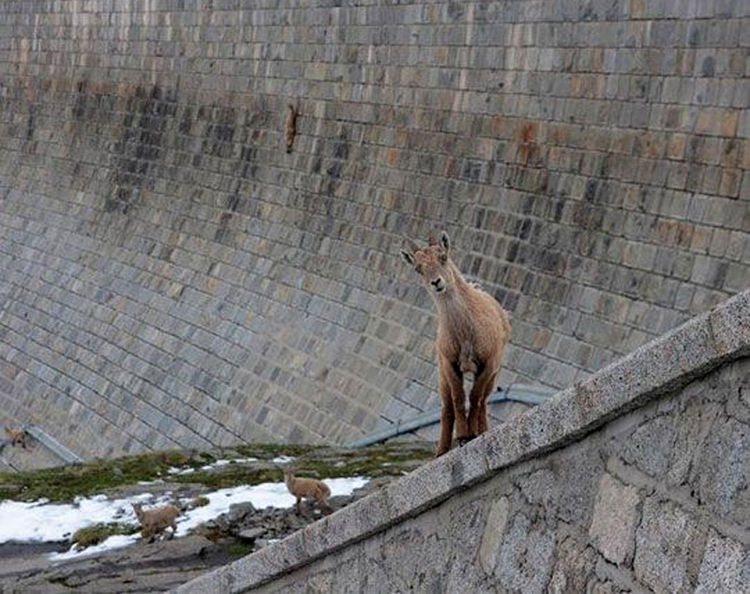 Herd of Alpine Ibex Goats Climb Vertical Dam in Northern Italy 05