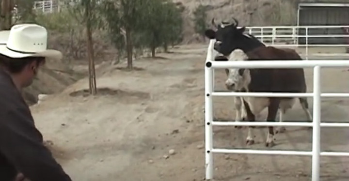 Mother Cow Named Karma Cries All Night for Her Missing Calf.