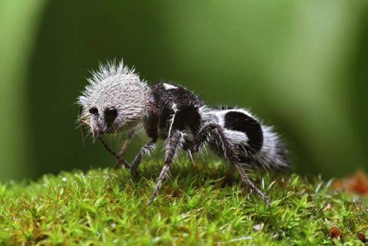 22 of the Weirdest Animals on Earth - The Panda Ant