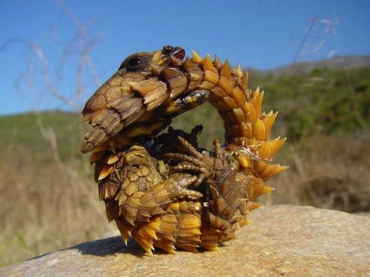 22 of the Weirdest Animals on Earth - The Thorny Dragon