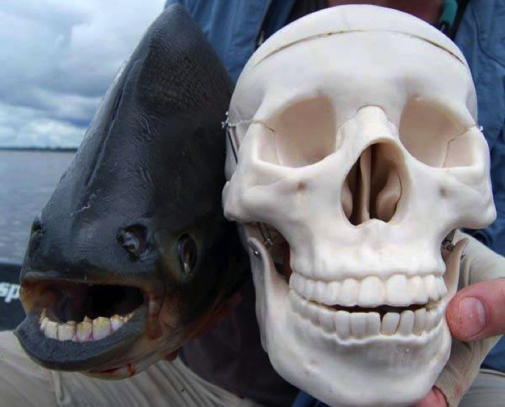 22 of the Weirdest Animals on Earth - The Pacu Fish