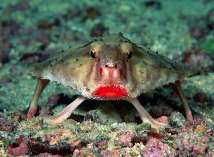 22 of the Weirdest Animals on Earth - Red-Lipped Batfish