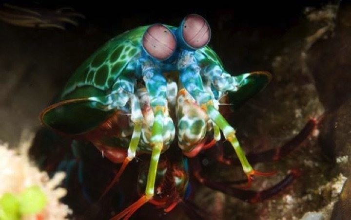 22 of the Weirdest Animals on Earth - The Peacock Mantis Shrimp