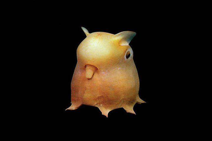 22 of the Weirdest Animals on Earth - Dumbo Octopus