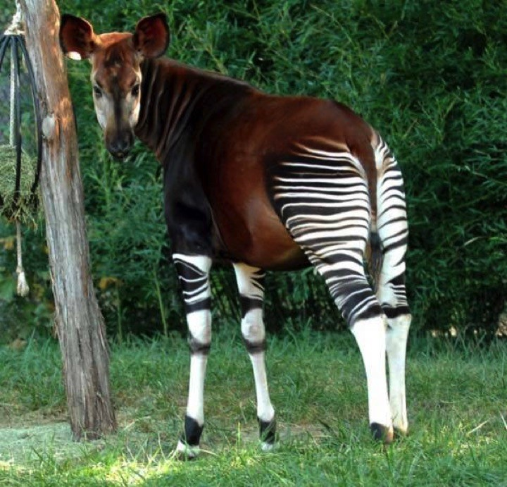 22 of the Weirdest Animals on Earth - Okapi
