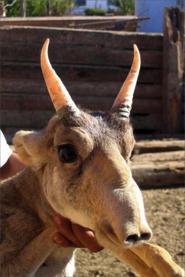 22 of the Weirdest Animals on Earth - The Saiga Antelope
