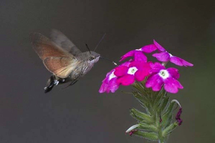 22 of the Weirdest Animals on Earth - The Hummingbird Hawk-Moth