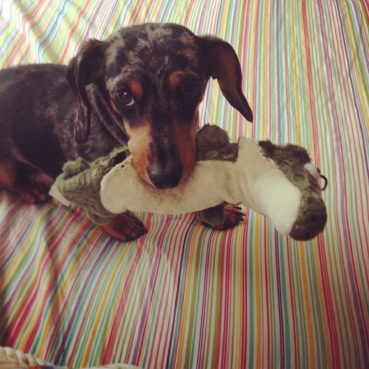 "28 Cute Dachshunds - ""I love my plush toy but I love snuggling up to you even more."""