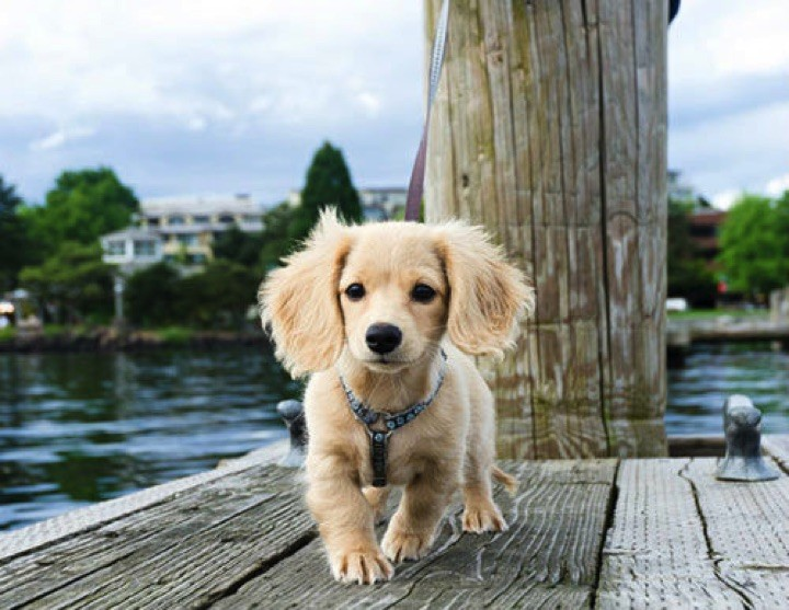 "28 Cute Dachshunds - ""I'm blond...and I'm gorgeous!"""