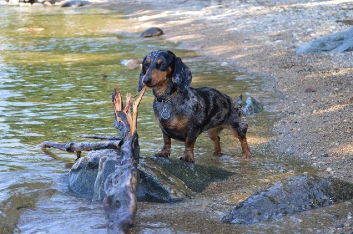 "28 Cute Dachshunds - ""I found it and it's all mine."""