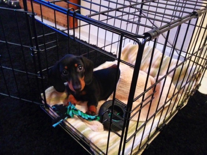 "28 Cute Dachshunds - ""My crate is almost as awesome as me."""