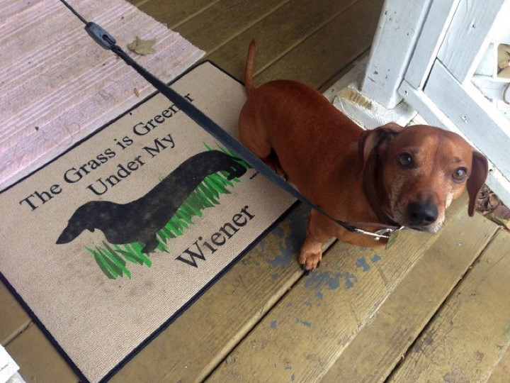 "28 Cute Dachshunds - ""Yeah, it's true. Deal with it."""