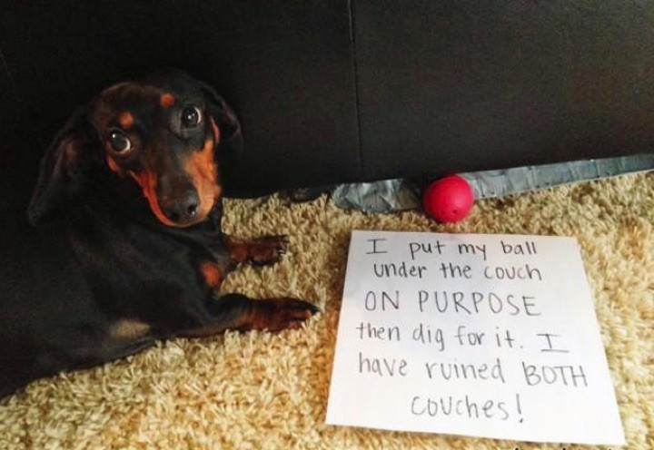 "28 Cute Dachshunds - ""Yes, sometimes we're bad but we don't mean it."""
