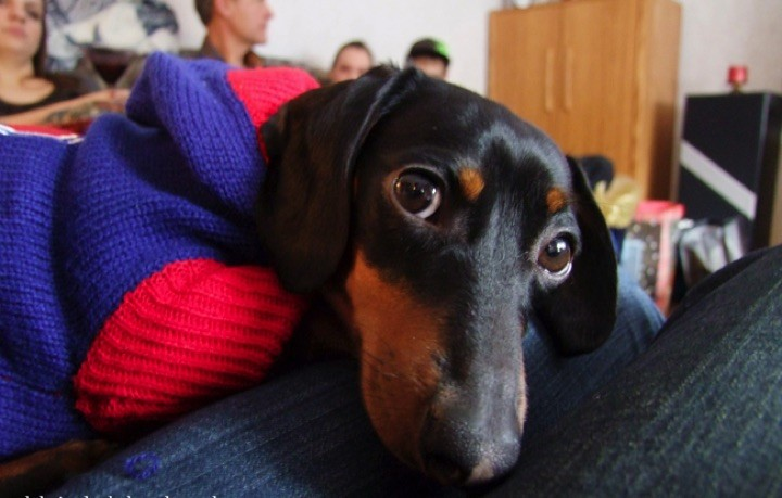 "28 Cute Dachshunds - ""How can you say NO to this face? Cute Dachshunds are for real!"""