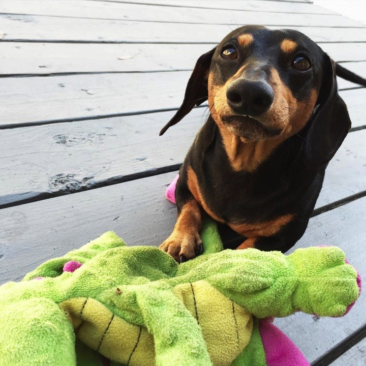 "28 Cute Dachshunds - ""I only look worried because my plush toy is broken!"""