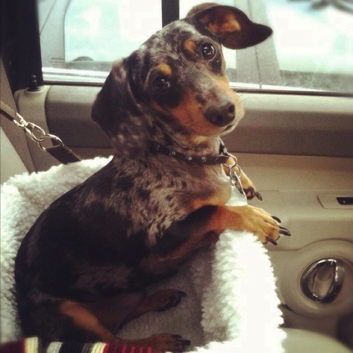 "28 Cute Dachshunds - ""Are we going to the pet store to get some treats?"""