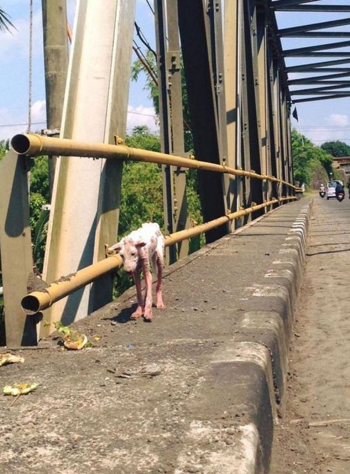 This stray dog named Kelsey has lived a life of misery until someone spotted her walking on a bridge, tired and hungry.
