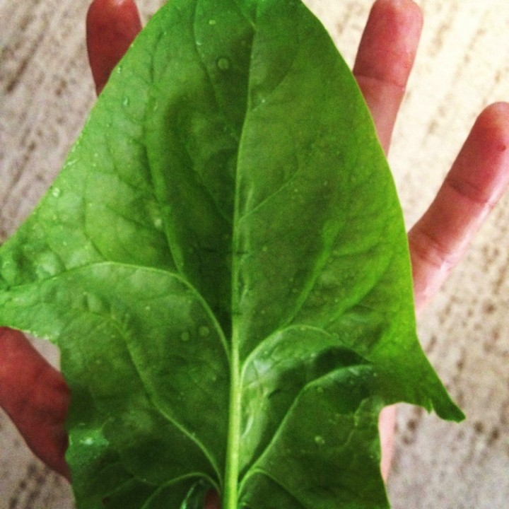 Large gorgeous spinach leaves that fit over an entire hand.