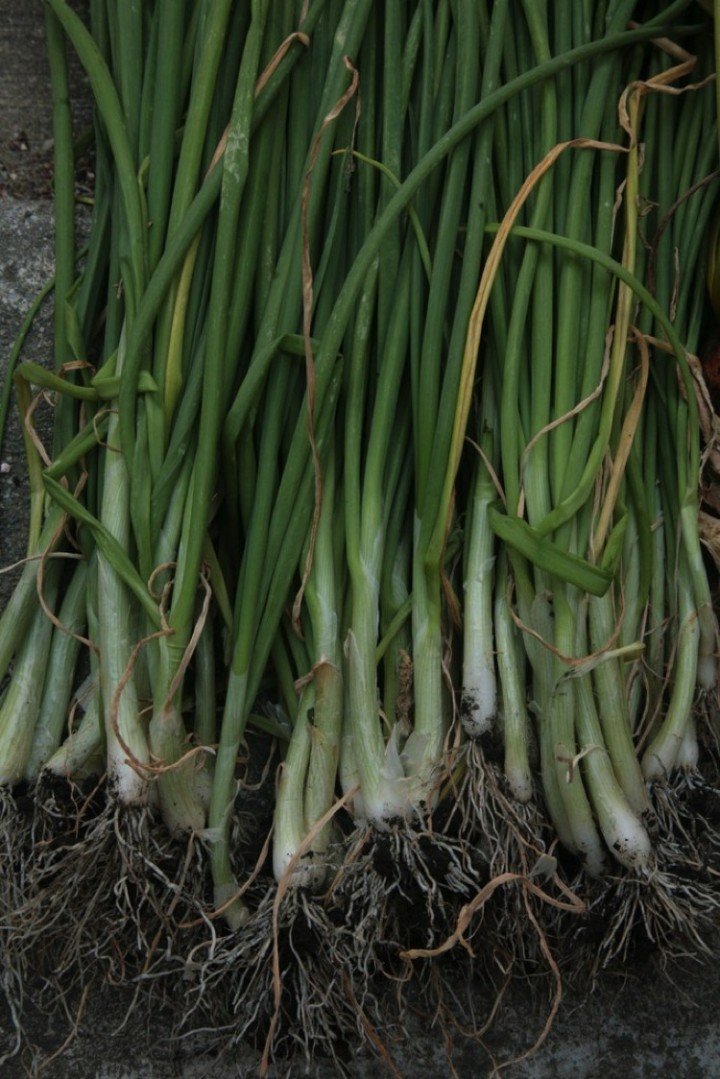 A huge picking of healthy green onions.