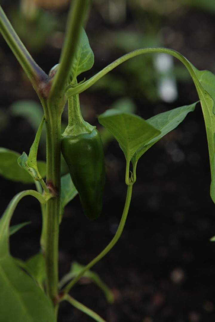 Peppers are just getting ready.