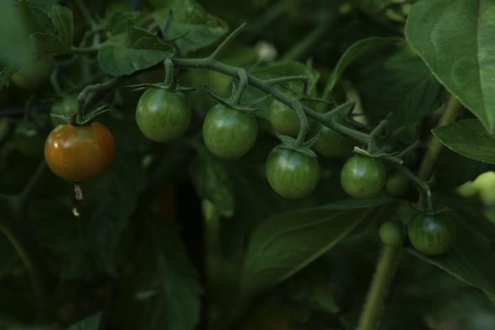 Luscious tomatoes.