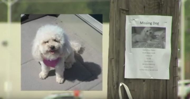Lost Poodle Found After Recognizing Her Owners on TV.