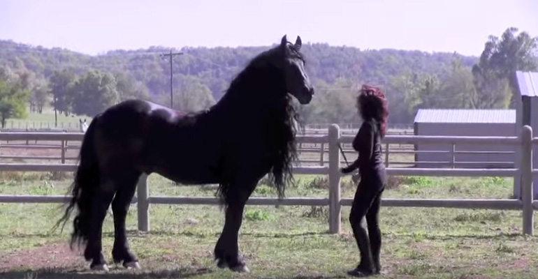 World Famous Friesian Stallion Frederik the Great is Stunning.