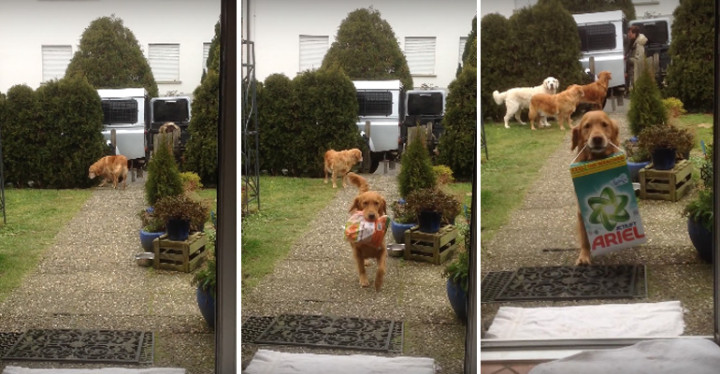 Adorable Golden Retrievers Carries Groceries into the House.