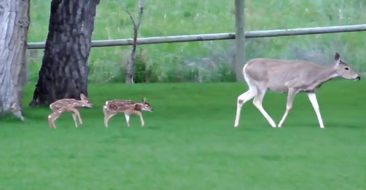 One of the baby fawns looked like she had a broken leg and she couldn't keep up with her little brother and her mom.
