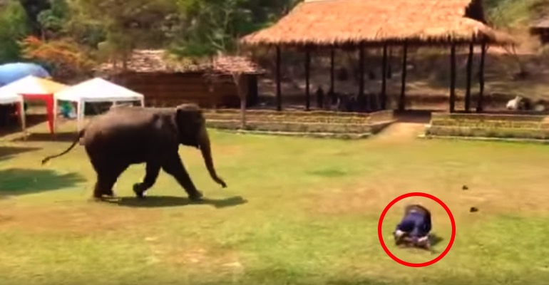 Thongsri the Elephant Comes to the Rescue of Her Caretaker.
