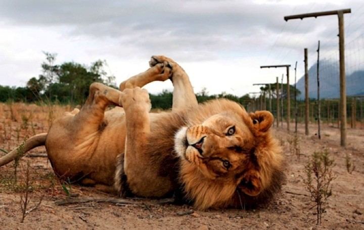 Lions will sleep in the weirdest positions just like their domesticated furry friends.