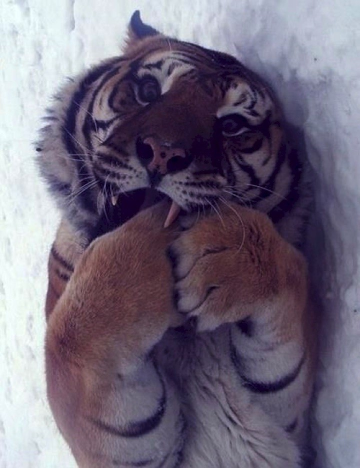 Big cats are just as adorable.