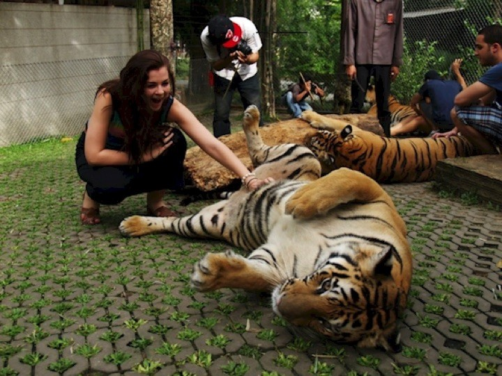 Even big cats love tummy rubs.
