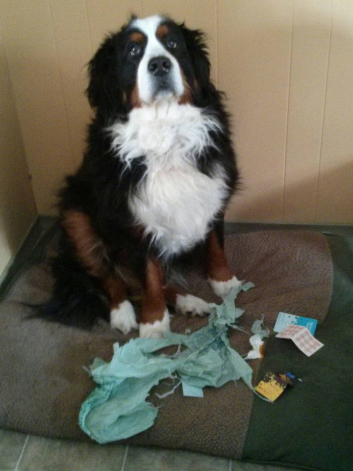 "15 Guilty Dogs Who Were Busted! - ""Yes, I ripped it and I have to admit, I enjoyed it."""