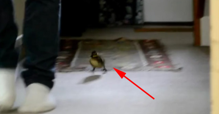 Adorable Rescued Duckling Follows His Rescuer Everywhere.