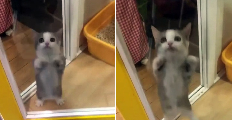 Cat Jumps Excitedly Once His Owner Arrives Home from Work.
