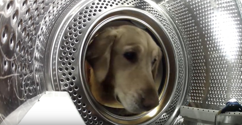 Golden Retriever Finds Teddy Bear in Washing Machine.