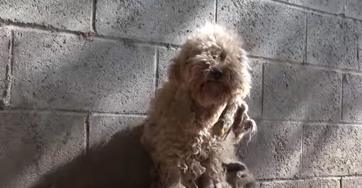 Hope for Paws Rescues Dolly the Severely Matted Poodle.