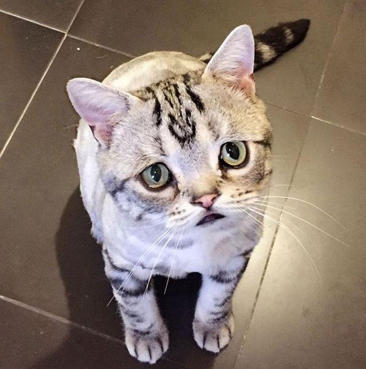 Luhu the cat has an adorably cute permanent sad face.