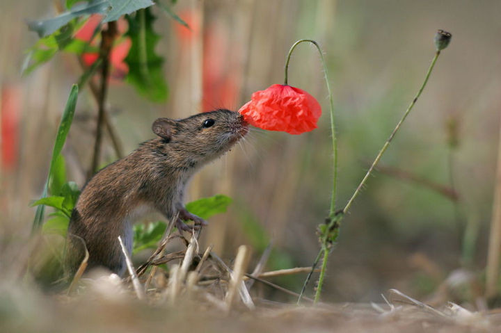 17 Adorable Animals Smelling Flowers - A field mouse enjoying the scent of beautiful flowers.