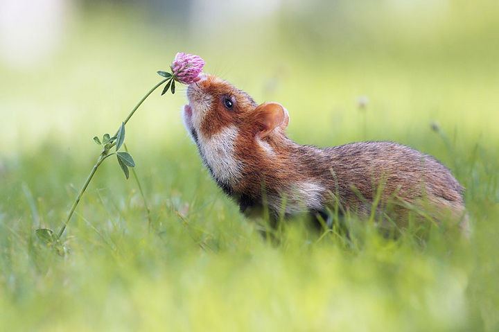 17 Adorable Animals Smelling Flowers - A European hamster enjoying the smell of a red clover.